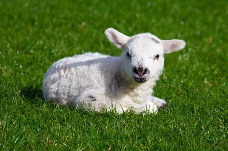 imbolc16_lamb
