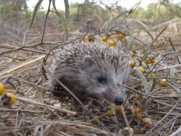 march16_hedgehog