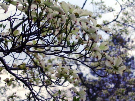 april_dogwood